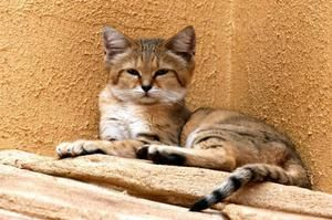 Rasă rare de pisică de catifea