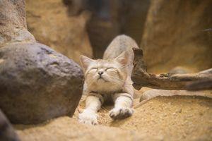 Cum traieste o pisica de catifea in natura?
