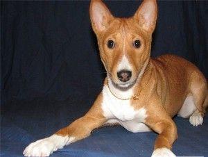 Basenji este o rasă de câini care nu latră