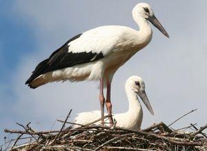Făină albă: o descriere a păsării în care trăiește și ce mănâncă