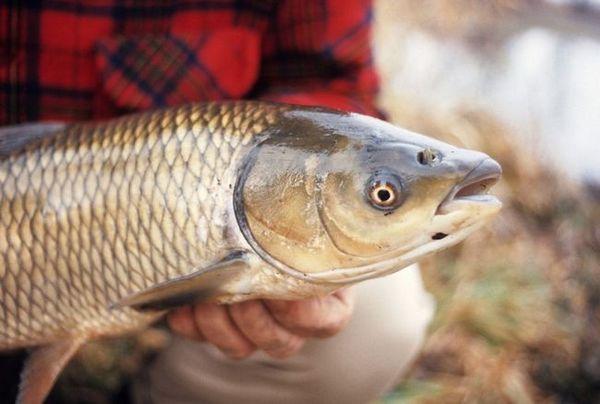 Cum să pescuiască un amour alb