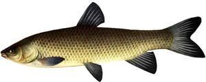 Pește alb Cupidon