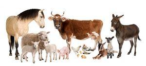 Boli ale bovinelor
