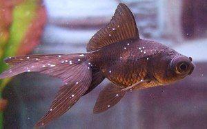 Descrierea bolilor de pește de acvariu