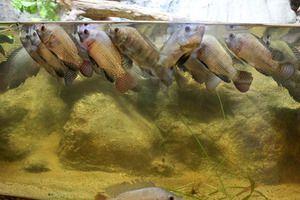 Cum de a determina că peștele nu are suficient oxigen
