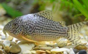 Simptomele peștilor de acvariu caucazieni