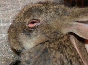 Tratamentul bolilor de iepure