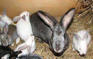 Ce este special cu privire la tratamentul iepurilor?