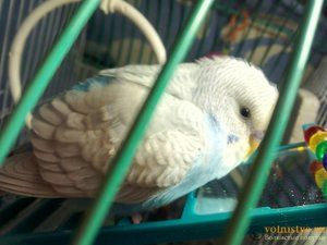 Bolile de papagali și tratamentul lor