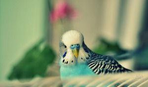 Simptomele de papagali ondulari
