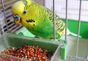 Boli de papagali