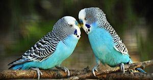 Hrănirea papagalilor ondulați