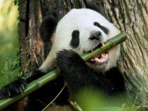 Unde trăiesc panda mare sau ursul de bambus?