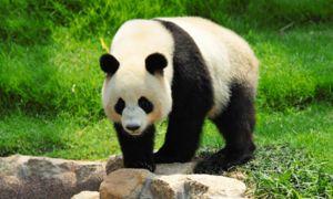 Ca și alți reprezentanți ai pandelor de urși au un fizic masiv