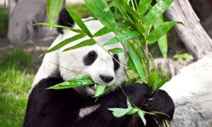 Dieta principală a pandei este bambusul, deși strămoșii săi au fost carnivori