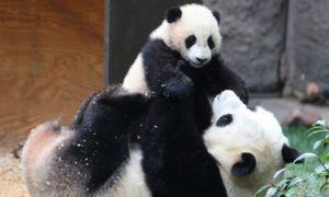 Panda mare ii ingrijeste puii de pana la 18 luni