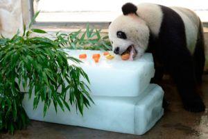 Panda mănâncă nu numai bambus, dieta poate include o varietate de alimente