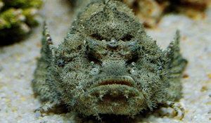 Wartow, această piatră de pește care locuiește în apele oceanelor
