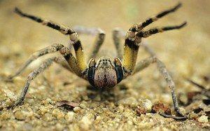 Brazilian rătăcitor păianjen - aspect