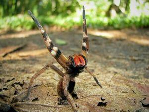 Spider brazilian agresiv - otrăvitor mortal