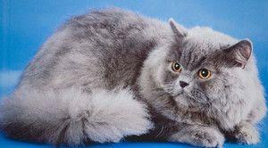 Pisicile britanice cu păr lung au un standard de rasă