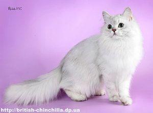 Pisici din Marea Britanie - rase