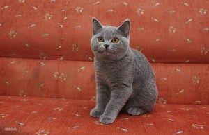Ce arata o pisica britanica?