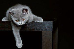 Reținerea unei pisici britanice