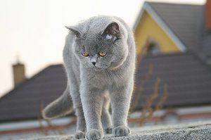 Cum să ai grijă de o pisică britanică