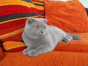 Pisica britanică