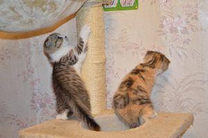 Kitten britanic Fuss
