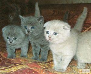 Pisici britanici strălucitori