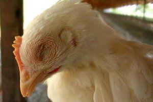 Broilerii strănut și wheeze - decât pentru a trata puii de găină și puii adulți