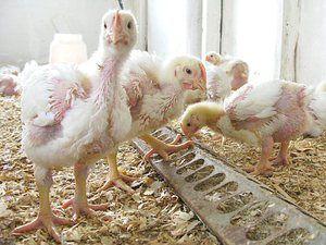 Rece de găini
