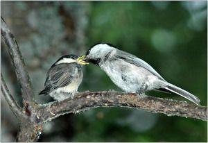 Nuci de cornea: hrană, reproducere de pădure, apariția unei păsări