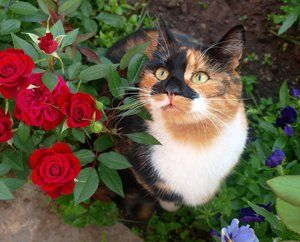 Pisică și flori dulci în trei culori
