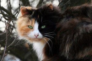 Mistic pisici de trei pisici - semne