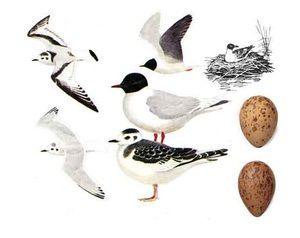 Pescarul de râu - păsări adulte și ouă