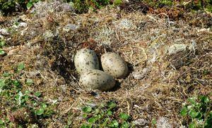 Pescărușul - cuib și trei ouă