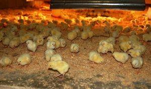 Cum se hrănește găinile: hrană la domiciliu