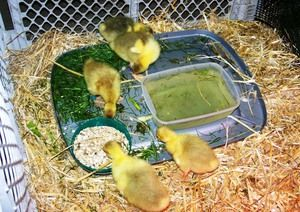 Cresterea goslings in fotografie acasa