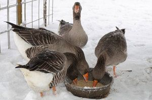 Hrăniți gâște în timpul iernii fotografie