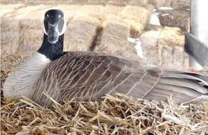 Goose pe ouă fotografie