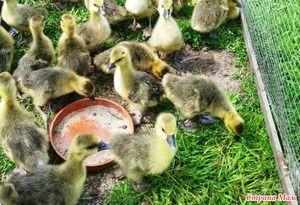 Hrănirea gâștelor în fotografia de vară