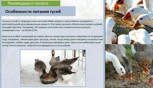 Caracteristici de fotografie de gâscă alimentară