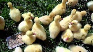 Reguli de hrănire și păstrare a goslings la domiciliu