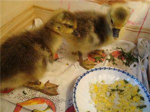 Nuanțe de hrănire a goslings și îngrijirea lor