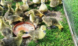 Descrierea dietei de goslings săptămânale la domiciliu