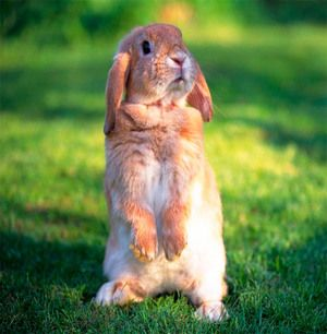 Rabbit pe picioarele din spate