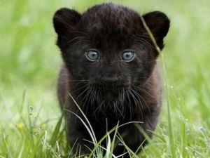 Panther este un părinte îngrijorător, puii ei sunt sub supraveghere fiabilă